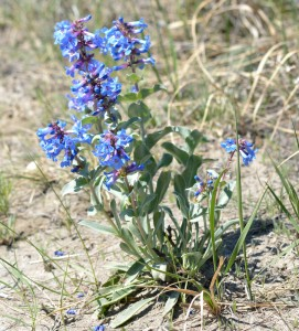 Blue Beardtongue DPP - Wild flowers in Dinosaur Provincial Park