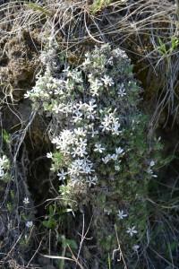 Moss Phlox - Wild flowers in Dinosaur Provincial Park