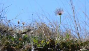 Praire Crocus - Wild flowers in Dinosaur Provincial Park - Alberta
