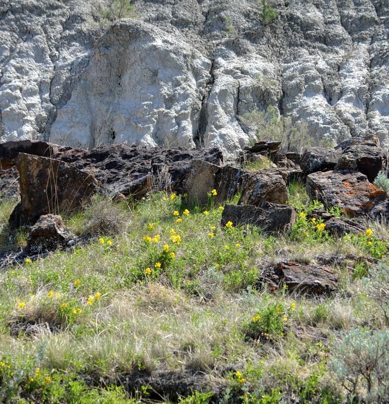 Wildflowers in Dinosaur Provincial Park Alberta
