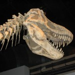 Albertosauraus at the Royal Tyrrell Museum, Drumheller, Alberta